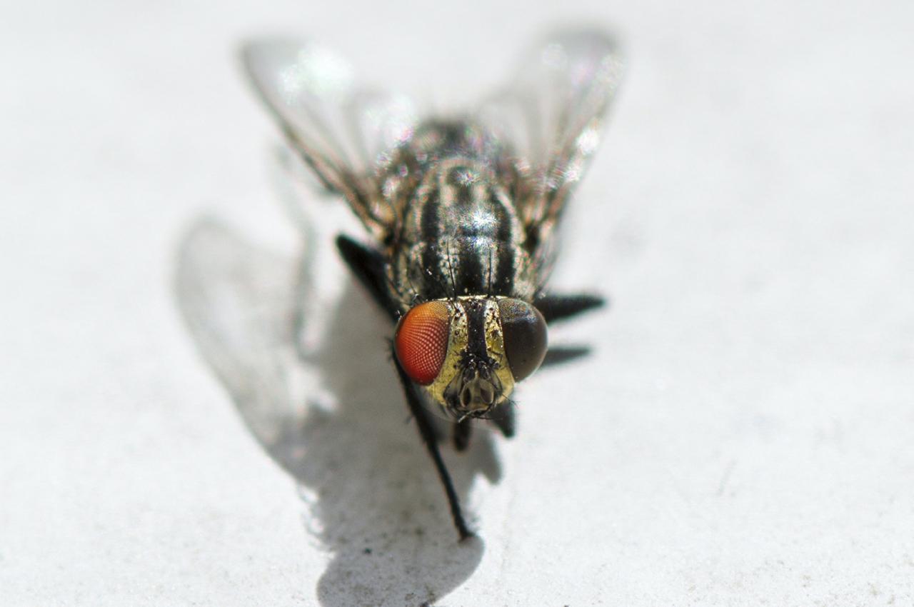 Flies food hygiene
